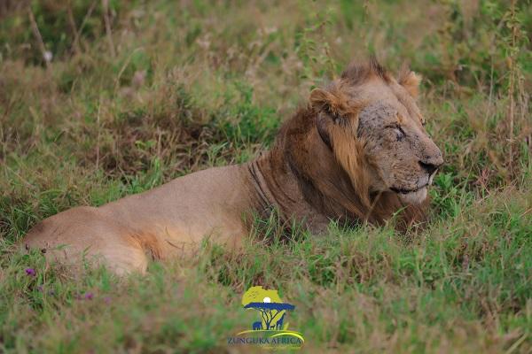 Lion at the Nairobi National Park