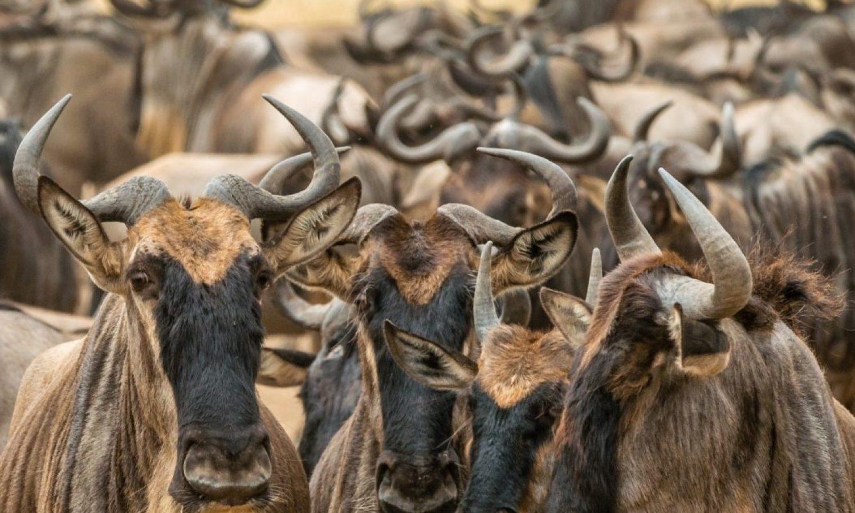 Wildebeest-2